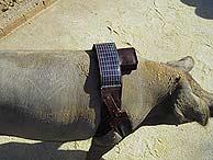 Cerdos por GPS